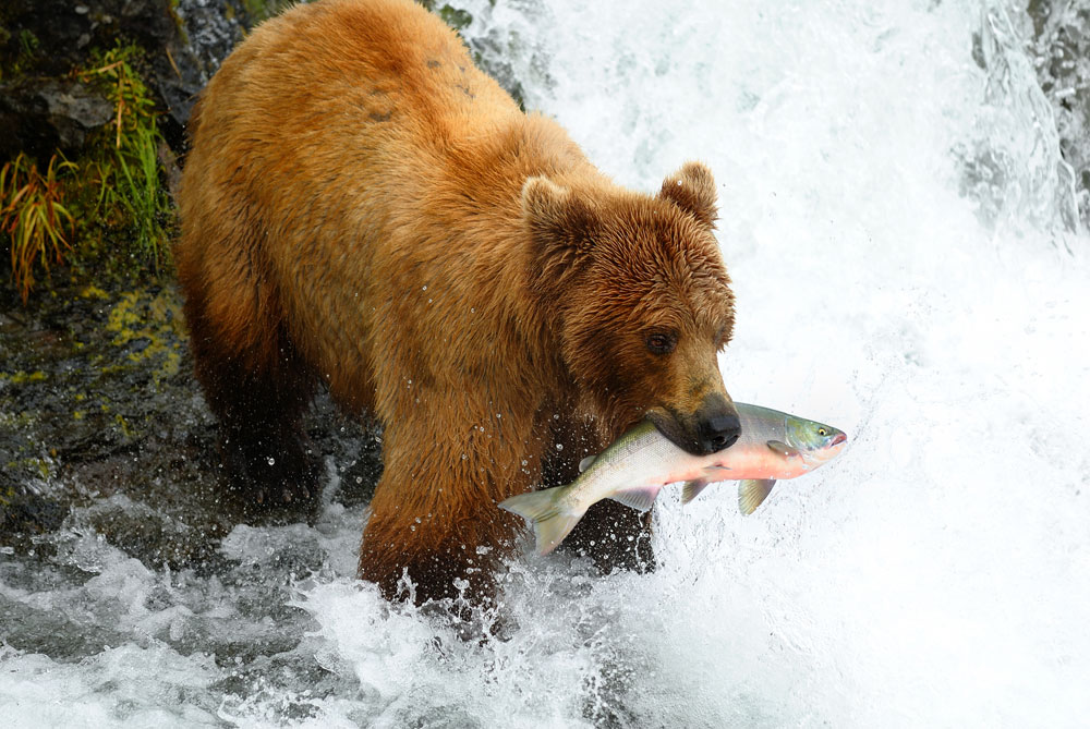 a bear in a stream with a salmon in its mouth